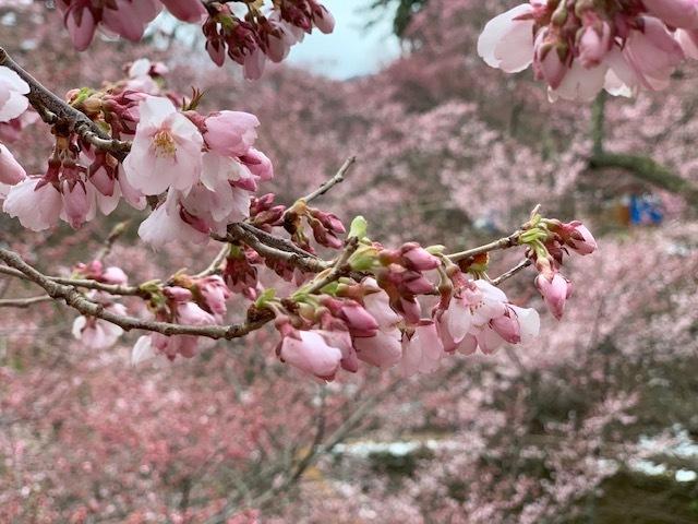 長野県伊那市桜はまだでした。
