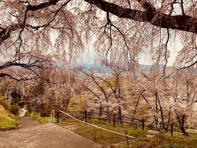 光林寺の桜。