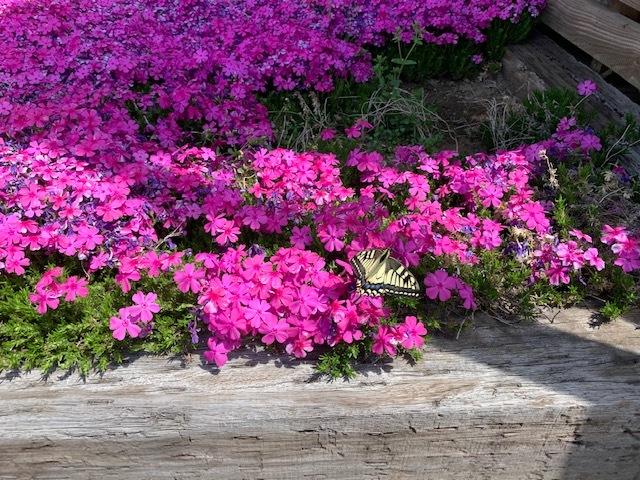 芝桜に蝶々。