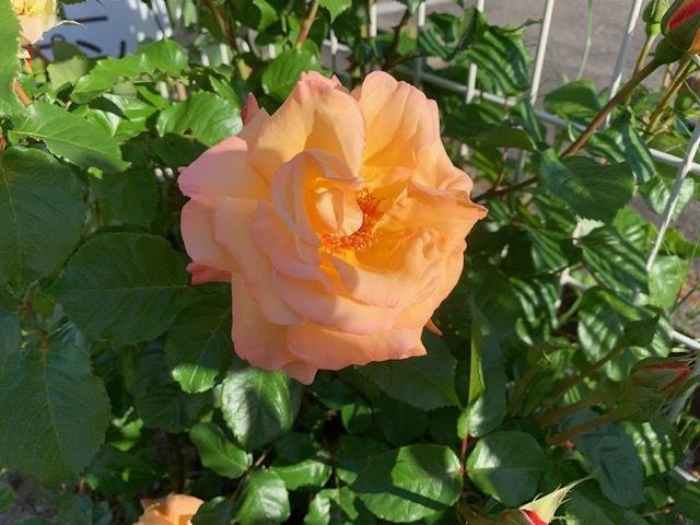 オレンジの薔薇。