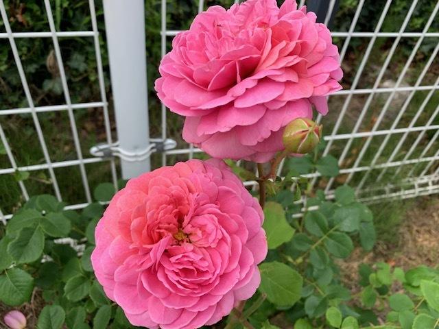 ゲストハウス前の薔薇。