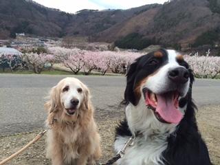 メリー&マックスも杏の花見。