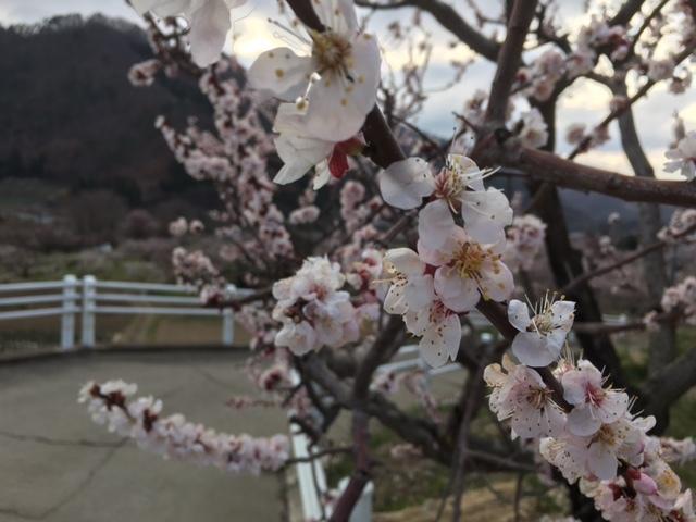 長野から南、千曲自動車学校近くの森の杏。