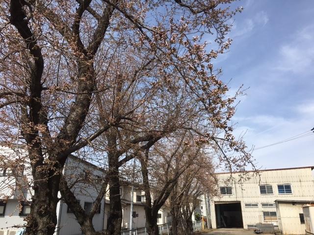 長野の桜も満開、格安合宿免許。