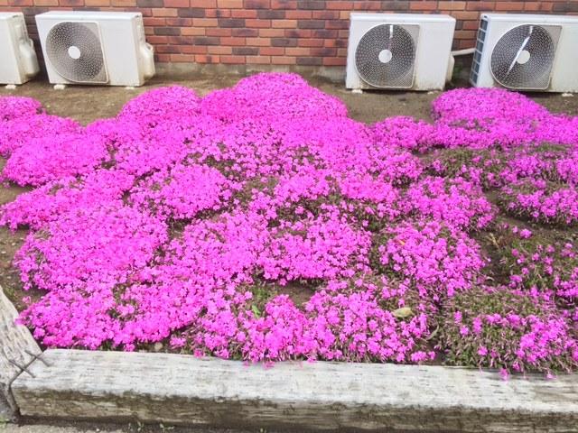 長野マラソンが終わり、芝桜が咲きました。