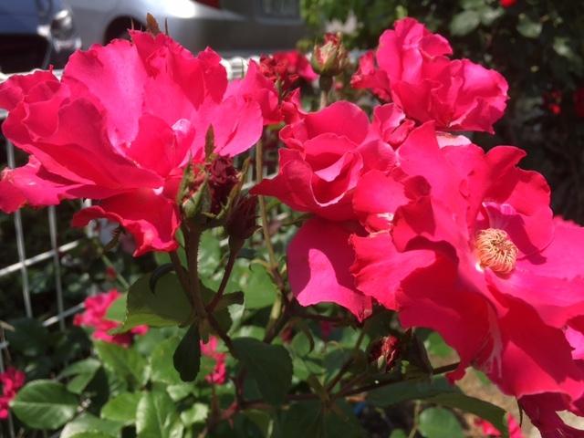 長野のバラは今が満開。