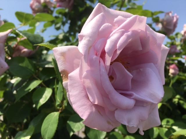ゲストハウス前のバラ、その3。