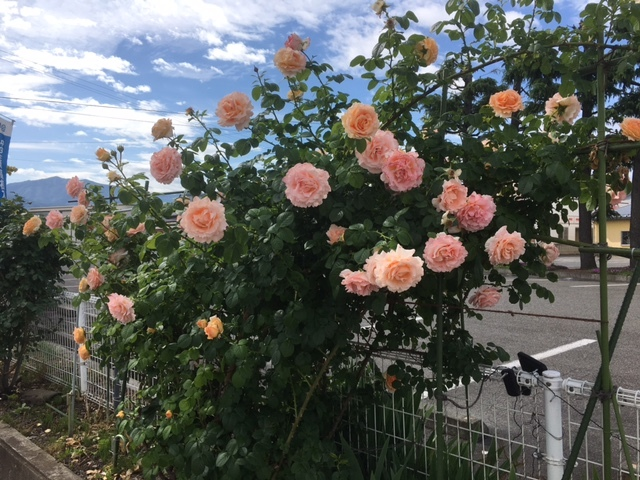 信州は薔薇が満開です。
