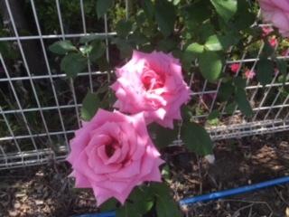 バラが満開の合宿免許のゲストハウス。