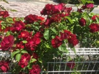 バラが満開の合宿免許ゲストハウス。