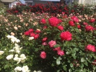 中野市のバラ祭り、満開です。