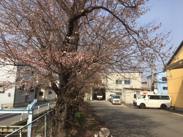長野の合宿免許の桜も咲き始めました。