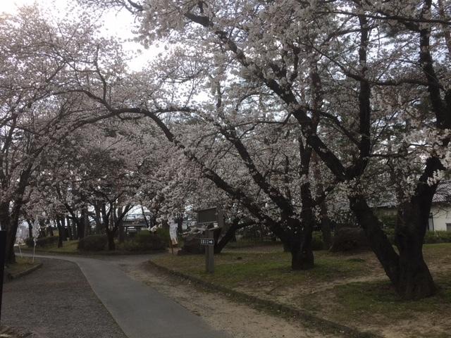 川中島古戦場の桜。