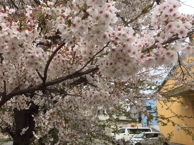 ゲストハウスαIIIの南の桜。