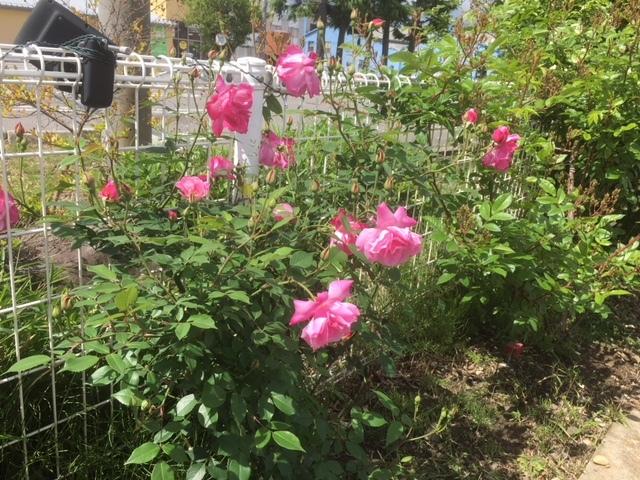 ゲストハウス前のバラ!