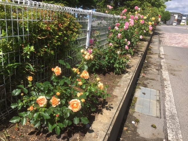 ほめて伸ばす教習所のゲストハウス前のバラ
