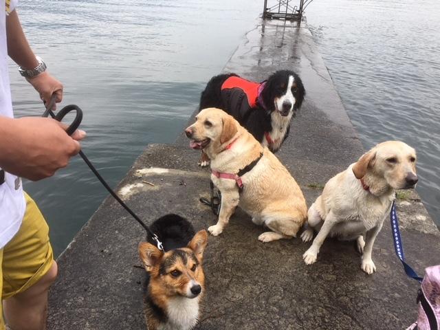 看板犬マックス君野尻湖でスイミング大会。
