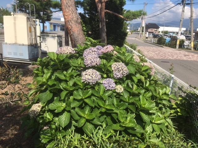 ゲストハウス前の紫陽花。