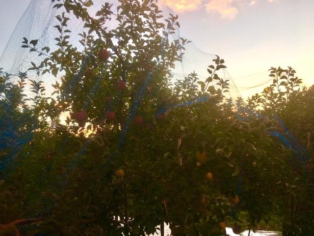 長野のリンゴも赤くなってきました。