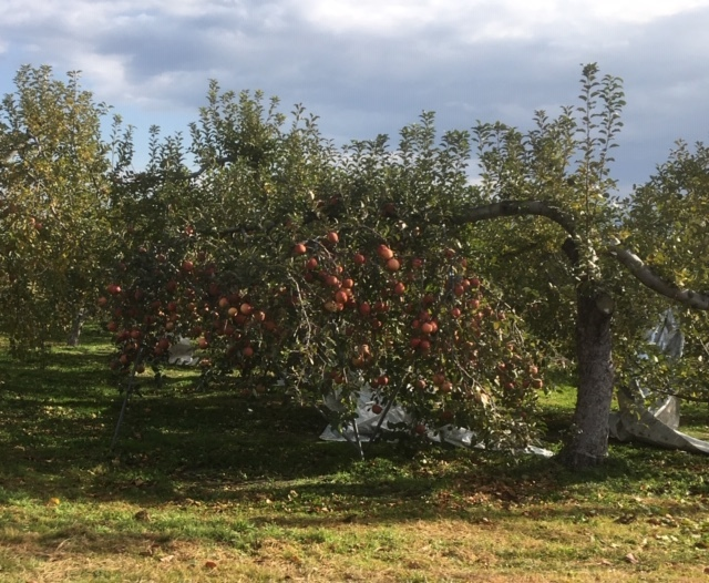 長野は今りんごの季節。